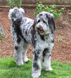 Rylee the F1 Blue Merle Aussiedoodle. Such great markings!