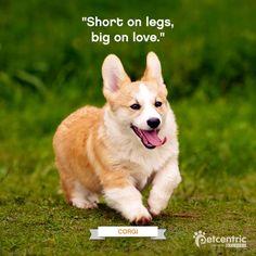 Corgi - Short on legs, big on love.