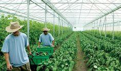 Dalam pertanian organik dibutuhkan teknik pengolahan lahan dan perawatan yang tinggi. Pasalnya, hama tanaman dan kondisi cuaca tidak selalu bersahabat.