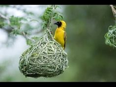 Animal Homes: The Nest (BBC Documentary) - YouTube