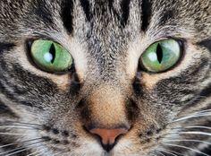 Green Eyes - Cat