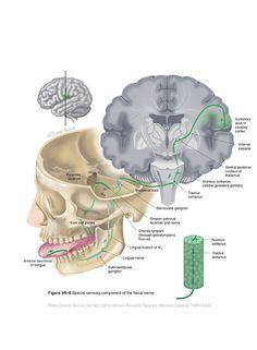 Facial VII - Cranial Nerves