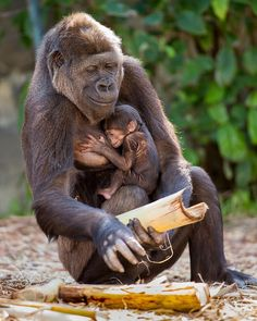 An endangered gorilla gives birth to an adorable baby in the Taronga Zoo - Animals Pictures Primates, Nature Animals, Animals And Pets, Cute Baby Animals, Funny Animals, Baby Gorillas, Pet Birds, Animals Beautiful, Animal Pictures