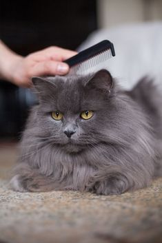 Those of us with long haired kitties know how hard it can be to keep them mat free, even with daily brushing. And, once they have a mat, getting it out can be difficult and painful. Here are some tips …
