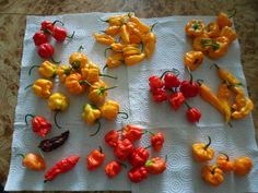 Complete First Harvest of 2012! Trinidad Scorpion, Trinidad Scoprion Moruga, Butch T, Fatalii, 7 Pot Jonah, Yellow 7 Pot, Scotch Bonnet, Ghost Pepper, Yellow Ghost Pepper, Chocolate Ghost Pepper, Yellow Jamaican Mushroom, and habanero