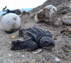 Spacer eggs (no yolk) are characteristic of leatherback sea turtle nests. #nationalcameraday #wendesdaywisdom