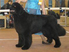 Conheça a raça Cão Pastor Egípcio de Armant