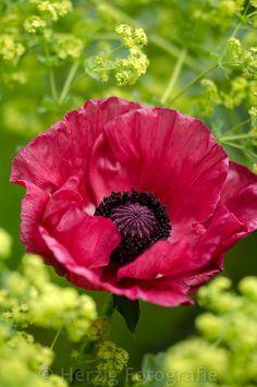 "Photo Papaver orientale ""Medallion"" - türkischer Mohn by Tina & Horst Herzig Photography My Flower, Flower Art, Papaver Orientale, Flower Drawing Tutorials, Poppies Tattoo, Belle Plante, Fauna, Tropical Flowers, Flower Photos"