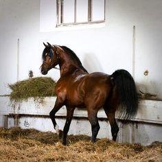 Arabian stallion Pogrom