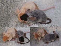Recessive Red Merle and Black Merle Fancy Show Mice