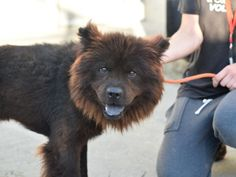 "CHOWDER - A1086452 - - Brooklyn  Please Share:TO BE DESTROYED 08/31/16***RESCUE ONLY! ***The shelter doesn't seem to know what to make of poor Chowder, a 5 year old Chow Chow. Shelter notes are very confusing, in one place it says he came in with a cat when their owner died, and in another part it says he arrived as a stray. He is also referred to as a ""she"" in one part and he went from being a little scared and shy to being slapped with New Hope Only rati"