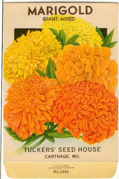 MARIGOLD GIANT Mixed Vintage Tucker's Flower Seed by dvioletlady