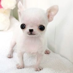 >>Check out the link to get more information pug puppies for sale near me. Click the link to find out more~~ The web presence is worth checking out. Teacup Chihuahua Puppies, Chihuahua Puppies For Sale, Tiny Puppies, Cute Chihuahua, Cute Dogs And Puppies, Pomeranian Puppy, Chihuahuas, Dachshunds, Cute Puppy Breeds