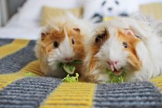 I don't think i've properly introduced two of my favourite boys to you here on my blog. Pippin and Percy. They came into my life in January of this year as teeny little balls of fluff that have now grown into bigger balls of fluff. SO FLUFFY. I have always loved guinea pigs sinc