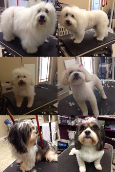 A few before and after dog grooms.