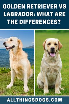 Golden Retrievers and Labradors are both extremely loving dogs who share many similarities. Both are great with children, have a sweet nature and are extremely loyal family pets. So what are the differences between the Golden Retriever vs Labrador.  #goldenretrievervslabrador #goldenretrievervslab #labradorvsgoldenretriever