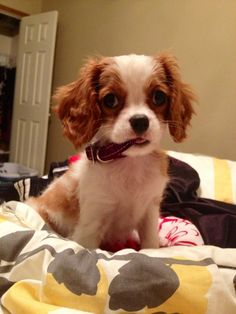Caviler King Charles Spaniel Puppy... Great Breed, friendly, well mannered!