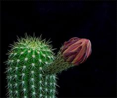 New trending GIF on Giphy. flower timelapse cacti. Follow Me CooliPhone6Case on Twitter Facebook Google Instagram LinkedIn Blogger Tumblr Youtube