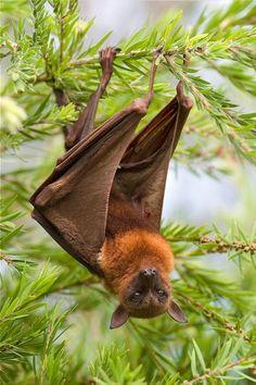 sweet little bat… ...flying fox...the largest bat...
