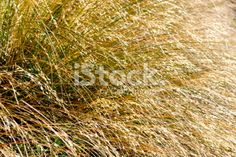 Tussock Grass Background Royalty Free Stock Photo Grass Background, Abstract Photos, Simply Beautiful, Royalty Free Stock Photos, Herbs, Photography, Image, Photograph, Fotografie