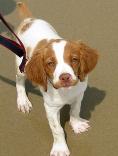 Oliver the Brittany...sweetest..high energy..breed!! Love my Nellie