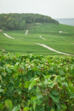 Ideally situated, planted mid-slope and exposed to the South-Southeast, the Perrier-Jouët vineyards are ideal for growing chardonnay. #perrierjouet Please Drink Responsibly