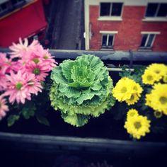 sophie_carre's photo on Instagram chou fleur, fleur, flower, balcony, balcon, paris