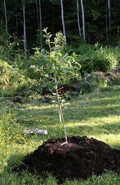 plantera äppelträd