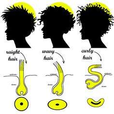 human anatomy, hair, hair types, straight hair, wavy hair, curly hair