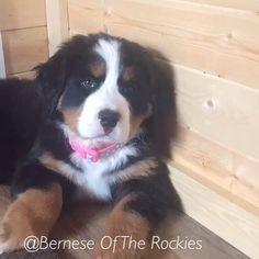 They grow up so fast! Don't let any day be wasted! #berneseoftherockies  #akc @americankennelclub #bmd @wafflenugget