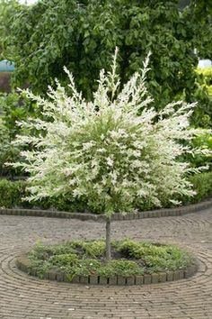 Variegated willow tree as landscaping focal point