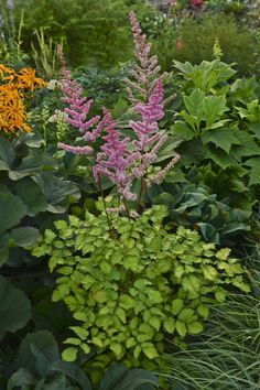 "Astilbe Amber Moon  ---  Golden chartreuse leaves with rose-pink flowers in midsummer. Foliage is about 30"" tall by 18"" wide, with 12"" blooms. Heat & drought tolerant (for an astilbe). z. 4-9"
