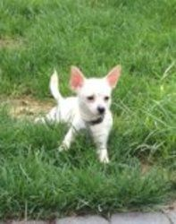 Kane is an adoptable Chihuahua Dog in Manahawkin, NJ. Adoption - The Right Option - When Choosing Pets! . . . Petnote: �He should be in a commercial, he's that cute! �Kane is our eight month old chi w...