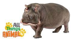 Letter H HIPPOS: Animals for children. Preschool Jungle, Preschool Learning, Classroom Activities, Teaching Kids, Learning Place, Reading Activities, Jungle Animals, Animals For Kids, Wild Animals