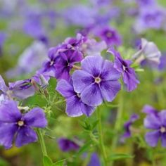 Phlox Moody Blues Mr Fothergill's Range Seed - Irish Plants Direct