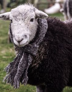 It is very wet, cold, and raw outside my cottage and everything is covered with ice. I am sure the local sheep would welcome scarves. Farm Animals, Animals And Pets, Cute Animals, Sheep Art, Sheep Wool, Alpacas, Wooly Bully, Baa Baa Black Sheep, Cute Sheep