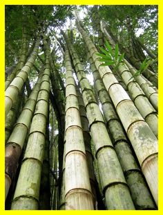 Fresh Giant Bamboo Seeds Rare Blue Bamboo Bambu Seeds Bambusa Lako Tree Seeds For Home Garden Planting Giant Bamboo, Bamboo Grass, Bamboo Art, Bamboo Plants, Bamboo Seeds, Bamboo Fencing, Bali, House Of Flying Daggers, Tree Leaves