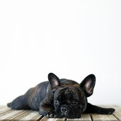 french bulldog - one day when we're older you'll surprise me with a dark brindle or black French bulldog :-)