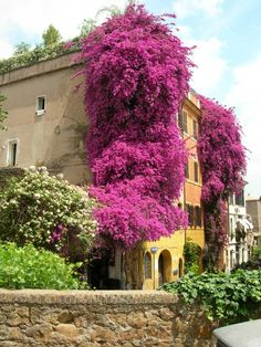 Trastevere, Rome - the unbridled passion of Bougainvillea