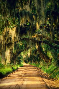 Spanish moss growing on an oak road, Edisto Island, South Carolina