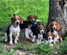Are you interested in a Beagle? Well, the Beagle is one of the few popular dogs that will adapt much faster to any home. Whether you have a large family, p Cute Beagles, Cute Puppies, Dogs And Puppies, Beagle Hunting, Rabbit Hunting, Blue Tick Beagle, Pet Dogs, Dog Cat, Doggies