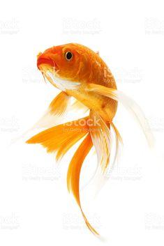 Orange golden koi fish on white background royalty-free stock photo Koi Fish Drawing, Koi Fish Tattoo, Fish Drawings, Fish Tattoos, Pencil Drawings, Koi Fish Pond, Fish Ponds, Coi Fish, Fish Fish