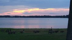 Canadian Geese at Lake Quannapowitt, Wakefield Mass