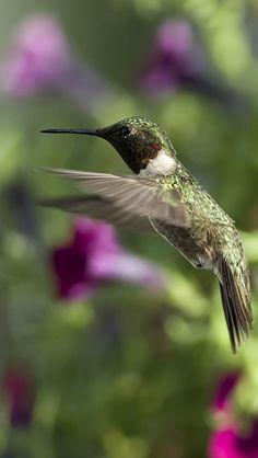 Sun, Hummingbirds, Petunias, Birds, flowers