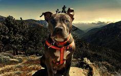 O Pitbull tem fama de ser um cachorro perigoso, mas olhe que isso não é bem assim! #cachorros #cães #animais #animals #dogs