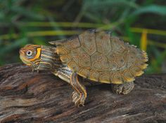 High Orange Mississippi Map Turtles for sale from The Turtle Source