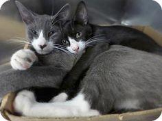 Westampton, NJ - Domestic Shorthair. Meet james 33085801, a kitten for adoption. http://www.adoptapet.com/pet/16391067-westampton-new-jersey-kitten