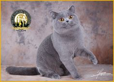 GC, BW, NW Woollencat Cocktail Rio, Blue Mal British Shorthair - 2nd Best at in China