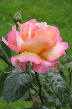 : *Flores*: - Topluluk - Google+