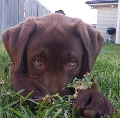 Labrador Retriever – Intelligent and Fun Loving I Love Dogs, Cute Dogs, Baby Animals, Cute Animals, Funny Animals, Chocolate Lab Puppies, Chocolate Labs, Big Puppies, Sweet Dogs